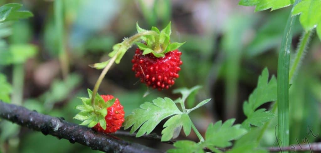 Can I Eat Wild Strawberries