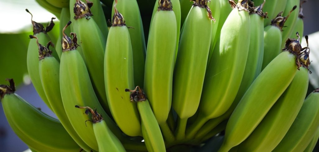 Top Health Benefits to Harvest from Unripe Plantains