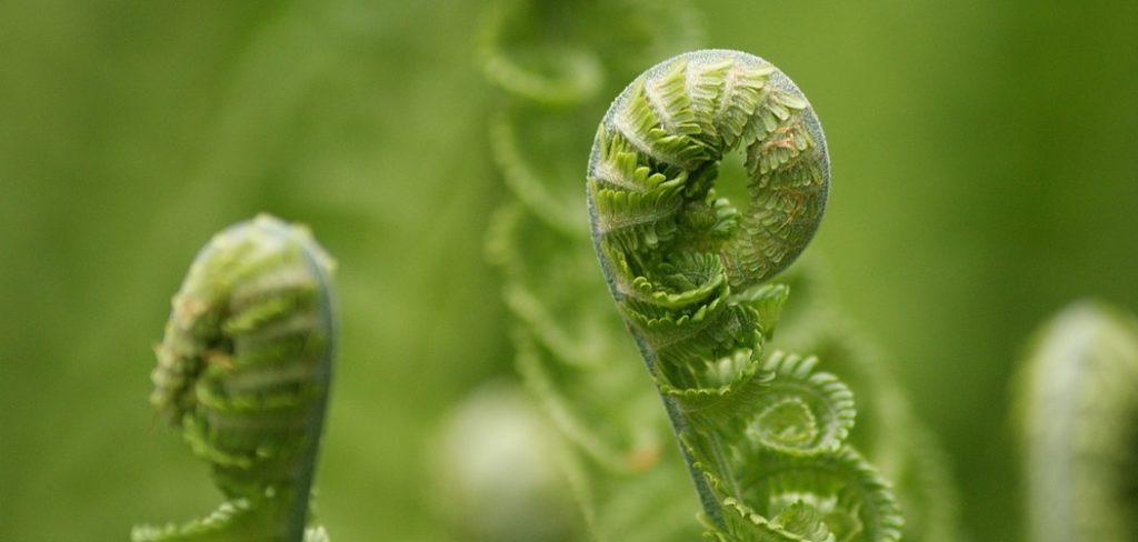 Why Fiddleheads should Make It on your Table